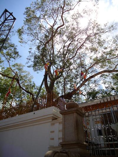 8-Bodhi-Tree-1